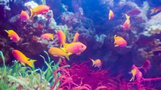 Fisk i saltvandsakvarie